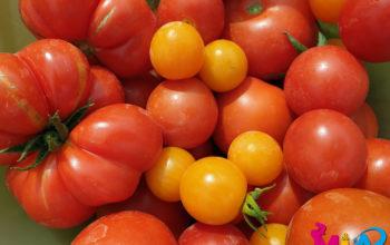 Unsere heutige Tomatenernte