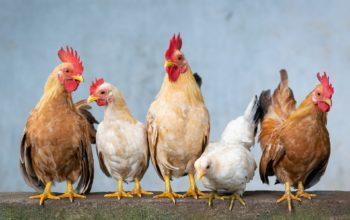 Unser Weg zu eigenen Hühnern